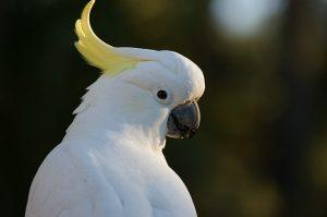 weißer Kakadu, papagei